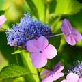 写真: ブルーと赤紫と~