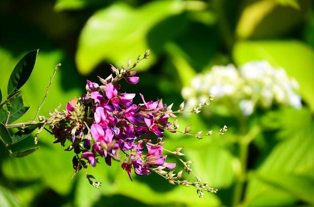 紫陽花の前に咲く萩(ハギ)