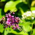 写真: 紫陽花の前に咲く萩(ハギ)