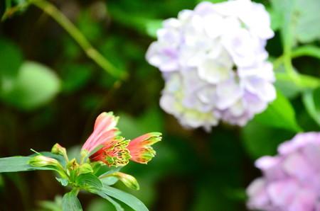 紫陽花の前の百合水仙