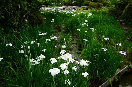 咲耶池の花菖蒲