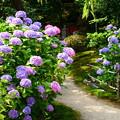 法金剛院の紫陽花