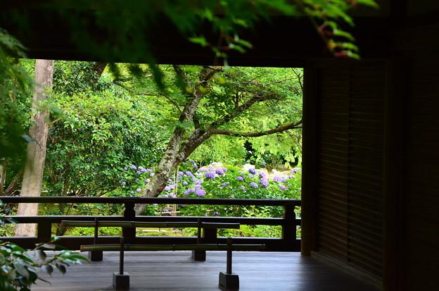 写真: 舞台越しの紫陽花