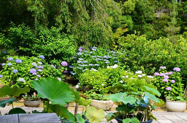 蓮の葉と紫陽花