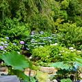 写真: 蓮の葉と紫陽花