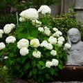 写真: 紫陽花地蔵