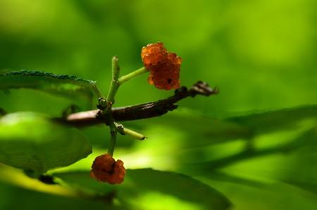 柳苺(ヤナギイチゴ)
