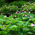 Photos: 紫陽花と蓮