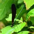 写真: 羽黒蜻蛉(ハグロトンボ)