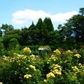 写真: 薔薇園