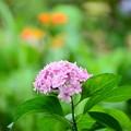 写真: 紫陽花(アジサイ)