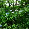 写真: 鐘楼脇の紫陽花