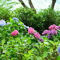 写真: 紫陽花園