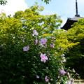 写真: 三重塔と木槿(ムクゲ)