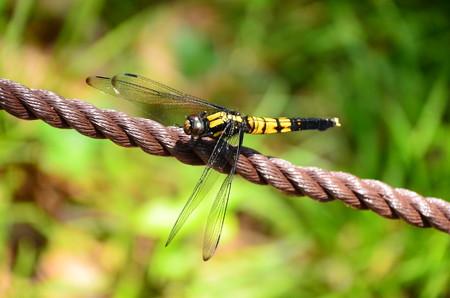 麦藁蜻蛉(ムギワラトンボ)