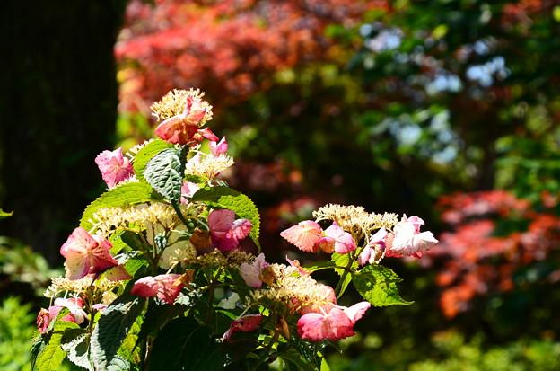 紅葉の前の紫陽花