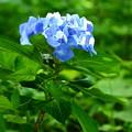 写真: 紫陽花ブルー