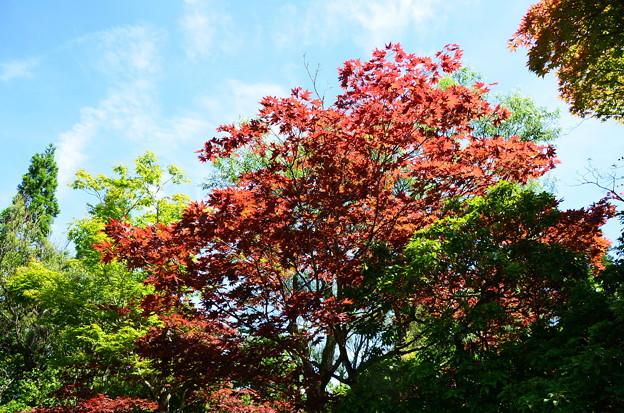 夏の紅葉~