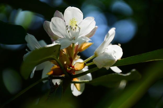 石楠花(シャクナゲ)