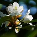 写真: 石楠花(シャクナゲ)