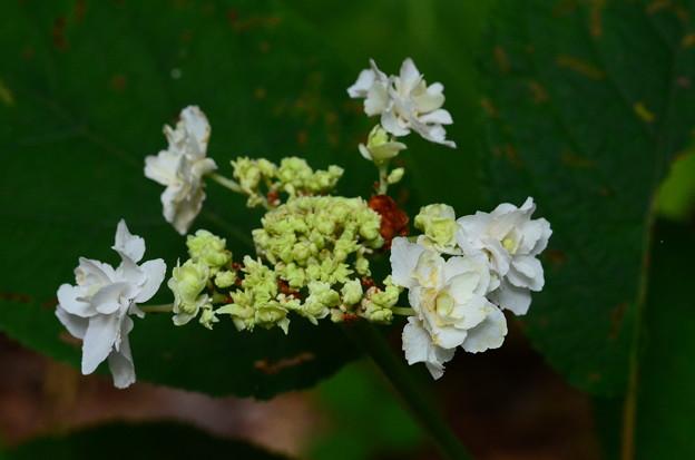 瓔珞玉紫陽花(ヨウラクタマアジサイ)