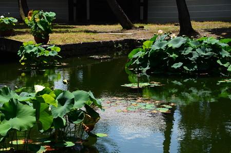 夏空を映す蓮池