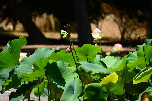 相国寺蓮池