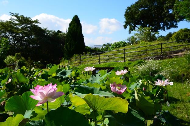 四季彩りの丘の蓮池