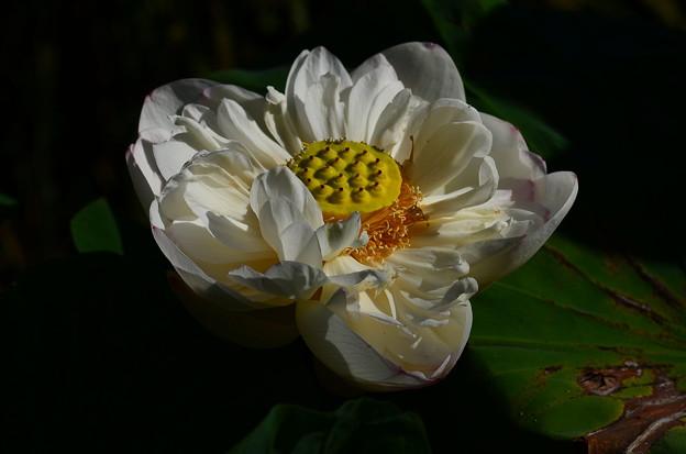 寒菊(カンギク)
