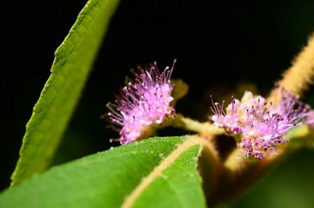 ビロード紫(ビロードムラサキ)