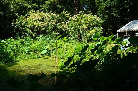 臭木咲くトンボ池