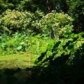 写真: 臭木咲くトンボ池