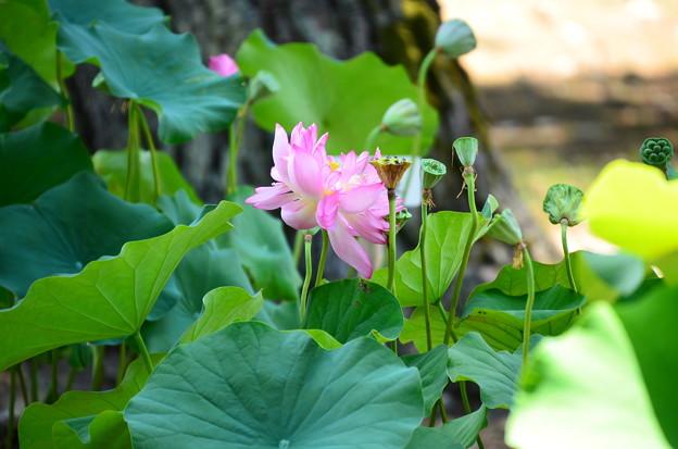 八重茶碗蓮(ヤエチャワンバス)