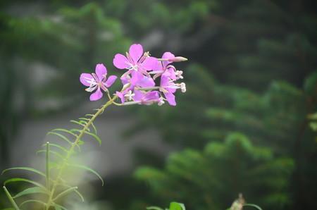 柳蘭(ヤナギラン)