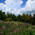 Photos: 夏空とクレオメのガーデンミュージアム比叡