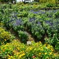 写真: 真夏の花壇