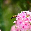 写真: 花魁草に魅されて