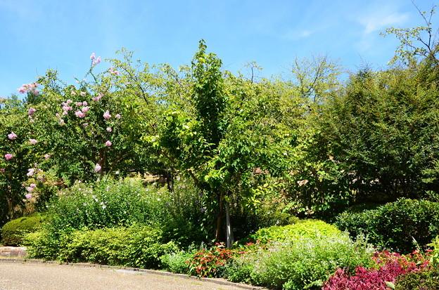 百日紅と木槿咲く植物公園