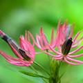 写真: パボニア・インテルメディア