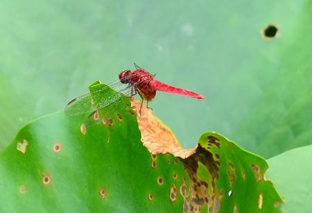 平安神宮の蜻蛉たち 3