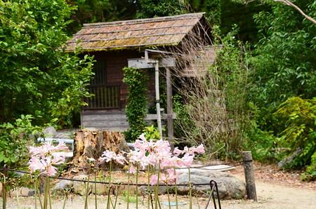 水車小屋と夏水仙(ナツズイセン)