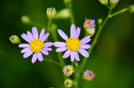 咲き始めた紫苑(シオン)