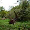 写真: 倒れた桜の木