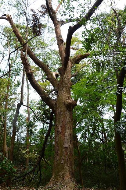 参道脇の古木