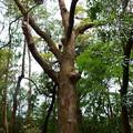 写真: 参道脇の古木