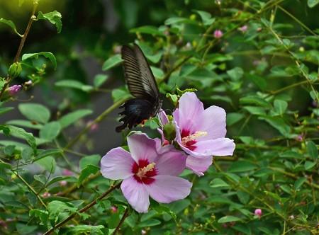 木槿にやって来た黒揚羽(クロアゲハ)