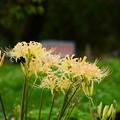 梅林の白花彼岸花