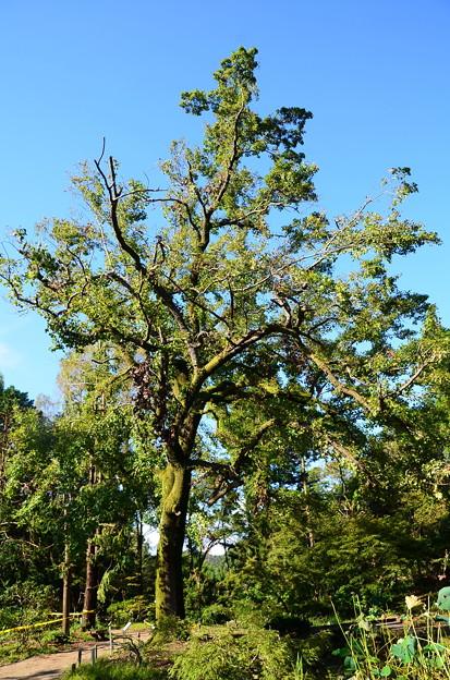 枝の折れた楓(フウ)