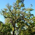 写真: 枝の折れた楓(フウ)
