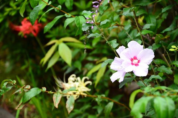木槿と紅白彼岸花